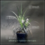ophiopogon-planiscapus-nigrescens-1-litre-pot